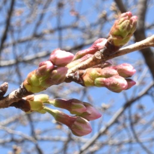 今日も桜ちゃんたちです。  やっと開いた桜ちゃん、これから開く蕾ちゃんそれぞれが愛おしいですね。  桜の木全体でみるとチラホラ咲いているだけですが、近付いてみると蕾1つ1つ眺めて行くだけで心が踊ってくるのがわかります。  風も心地よいくらいに穏やかですから、もうテイクアウトで のベンチで珈琲ブレイクも良いと思います。  珈琲だげでは少し寂しいと言う方には  #熊谷きなこ屋 の五家宝如何でしょうか?  是非今日の彩りに  熊谷スポーツ文化公園  珈琲工房香澄 熊谷きなこ屋  こちらのトリオ如何でしょうか?  皆様の1日が健やかで幸せにありますように そして今日出逢う珈琲が皆様に幸せを運べますように          # 喫茶店