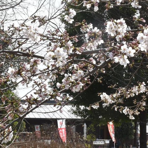 お店から見える のソメイヨシノがあきらかに花のピンクが多く見えたので、反対側から桜の花とお店を写真に収めました。  お店に戻るとソメイヨシノの後に花を開く枝垂れ桜の蕾が本当に紅くて足元にはクリスマスローズもキレイでした。  風も心地良くうちの看板犬達は気持ち良さげにお昼寝です。  私にとっては最高の1日ですね。  是非幸せを感じにお出掛け下さい。  皆様の徒歩圏内にも春や幸せを感じさせるものがあると思いますよ。  もし宜しければ当店まで足をお運び下さい。  本日のコーヒーは ルビーマウンテン アイスブレンド デカフェ    です。
