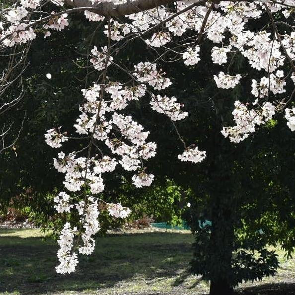の桜が散り始めました。  の練習が店内でしていただけるようになってから、津軽三味線音の音の消える瞬間の音の震え方が好きになりました。  今日桜の花を観に出掛けて、散り始め最高と思いました。  チラホラと散り始める桜がとても愛しいですね。  暑くなりそうですが、穏やかな 公園の桜の花弁を数えるわけでも無く、1つまた1つと散ってゆく景色をアイスコーヒー飲みながら眺めるのは如何でしょうか?  車通りも少なくて静かなロケーションも香澄の魅力の1つです。  微かな風の音、鳥の鳴き声、手嶌葵の歌声のハーモニーも今日の香澄にはあります。  是非お出掛け下さい。  本日のコーヒーは 優しくチョコレートのような香りの  グアテマラ  注文の増えてきたアイスコーヒーの  アイスブレンド  カフェインを避けたい人のための  デカフェ    です。  皆様の1日が健やかで幸せにありますように そして今日出逢う珈琲が皆様に幸せを運べますように          # 喫茶店