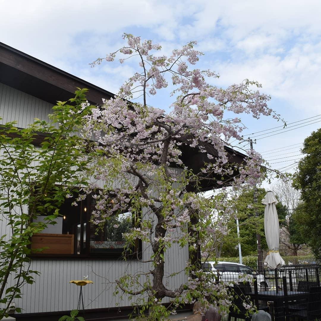 の染井吉野桜は殆ど散ってしまいましたが、当店の枝垂れ八重桜まだ花を維持しています。  庭にある楓の葉が開いてきたり、ビワの実が少しずつ膨らんできたり、自分が少し太ってきたり春を感じます。  ・・・・・・・ ・・・・  すみません嘘をつきました一年中太ります。春は関係ありませんでした。  午後は雨の予報でしたね。アロマとコロンは知っているのか、朝から元気に遊んでいます!  ・・・・・・・ ・・・・  これはホントです。  さんの五家宝は黒ごま味がとても人気です。 届けて頂くときに「五家宝と珈琲が合う」とお客様からよくおっしゃって頂けるとお伺いします。  是非お試しください。  本日のコーヒーは モカレケンプティです。 焼き芋の皮が少し焦げたような芳ばしい香りと甘みを感じます。  アイスブレンド アイスコーヒー用のブレンドです。  デカフェ アイスコーヒーにも対応致します。  カフェオレにもデカフェご指定いだだけます。  是非お立ち寄り下さい。  皆様の1日が健やかで幸せにありますように そして今日出逢う珈琲が皆様に幸せを運べますように          # 喫茶店