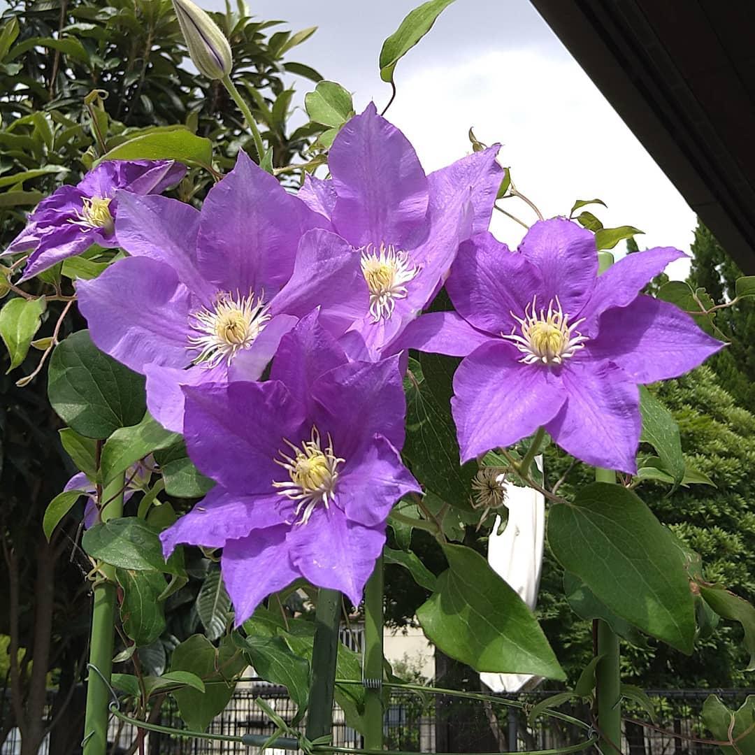 クレマチス! 今日は定休日のためお休みを頂いております。   写真のクレマチスは7・8年前から私を喜ばせてくれています。  鉢植えから地植えにそしてまた鉢に戻りましたが毎年私にきれいな花を見せてくれます。  クレマチスが毎年花を咲かせて喜ばれるように、毎回喜んで頂ける焙煎をし抽出が出来たらと願うばかりです。  #オンラインショップ の送料無料金額の引下げ期間は今月いっぱいですので、今日を含めて7日間です。  もし宜しければご利用ください。  プロフィールから入れます。 平日はご注文出来得る限り翌日発送致します。