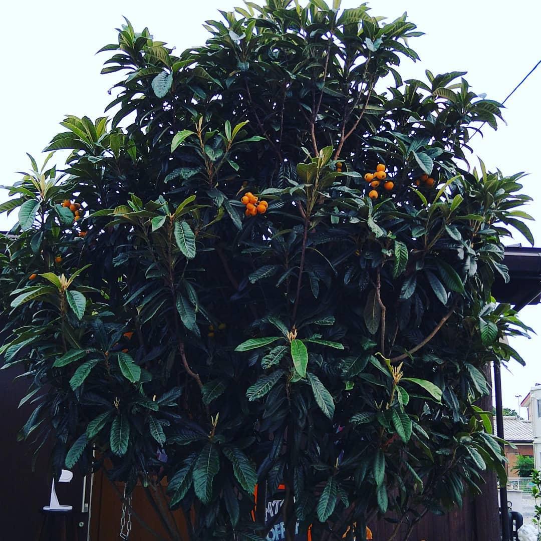 ビワ  今年の初物を食しました。 美味しい珈琲工房香澄の庭にあるビワ美味しいですよ。  ジャムにでもしてみましょうか  季節を感じに来て下さい。  Instagramショッピングのセッティングが、昨日やっと出来ました。  ビワの写真に浅煎りのためフルーツの様な果実感を香りから感じるペルーをタグ付けしてみます。  もし宜しければご覧になって下さい。   は今月20日まで駐車場のご利用分が出来ません。 営業時間外に 熊谷スポーツ文化公園ご利用の方は当店の駐車場ご利用頂いて結構です。  営業時間内にご利用されたい方は当店のご利用を条件とさせて頂きます。  また駐車場での接触事故等のトラブルには当店は一切責任を負いませんのでご理解をお願い致します。  金曜日にコロンビア・ルビーマウンテンの焙煎を予定しております。  宜しければ実店舗オンラインショップご利用ください。  オンラインショップ今月20日まで送料無料金額を引き下げております。  是非ご利用ください。   皆様の1日が健やかで幸せにありますように そして今日出逢う珈琲が皆様に幸せを運べますように