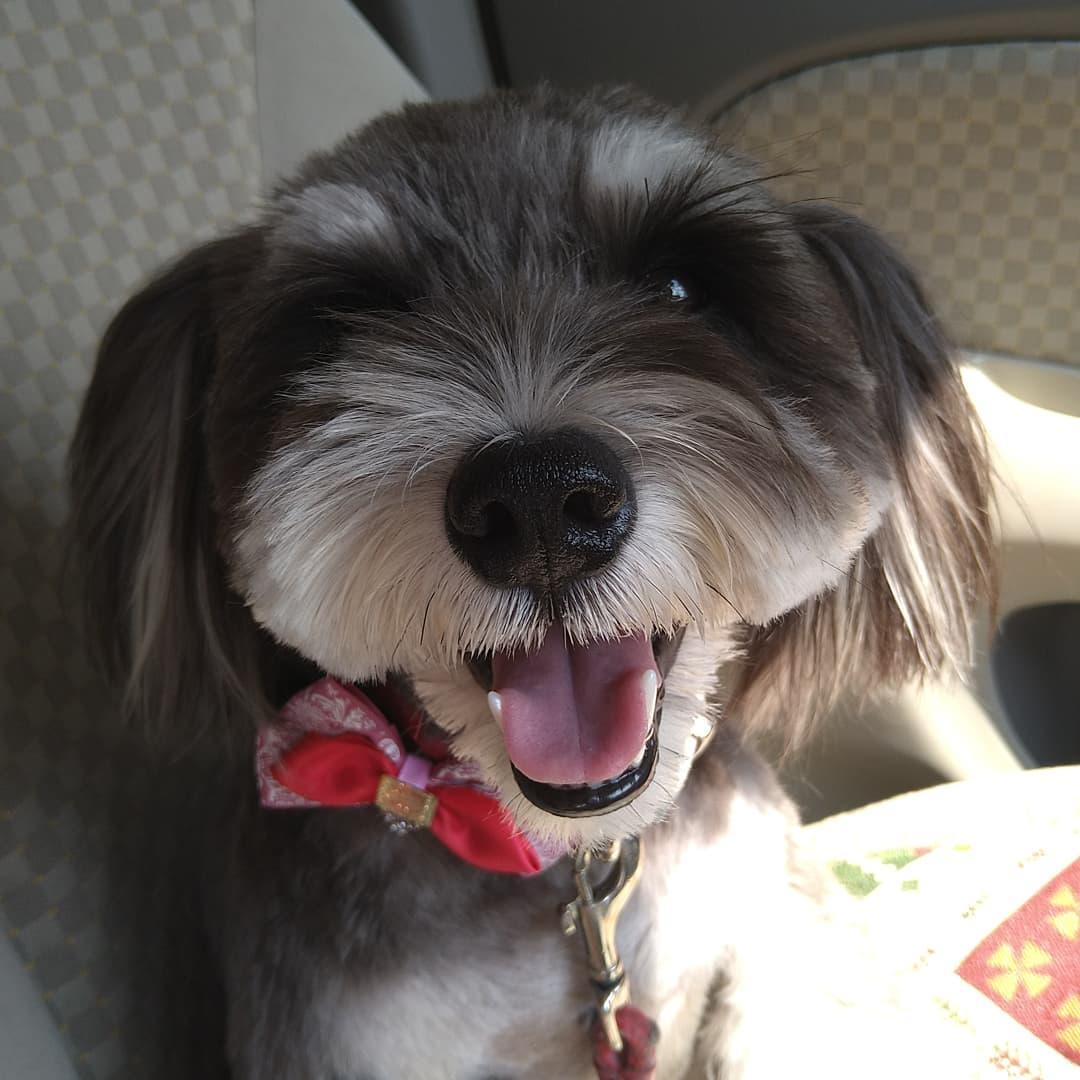 看板犬のアロマとコロンは本日午前中トリミングに行っていました。  帰りの車の助手席でアロマは最高の彼女状態でした。  華の46歳オッサンのハートは鷲掴みにされておりました。  1番可愛いときの看板犬達に逢いに来てやってください。  アロマのスマイル0円です。